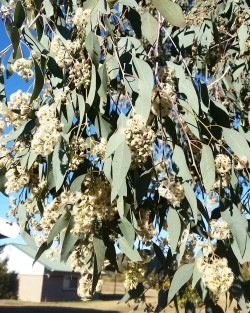 Spectacular flowering eucalyptus tree